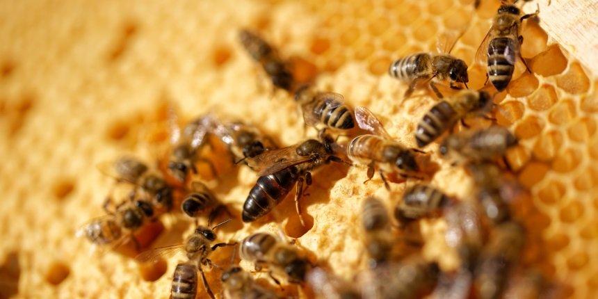 Bienenkönigin, Bienen, Hof Kerkmann, Jürgen Westhoff, Dorsten, Lembeck, Jürgen Alfes